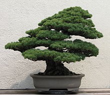 220px-Japanese_White_Pine,_unknown-2007
